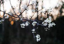 caldo record a dicembre: gli alberi sono in fiore