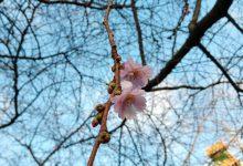 svezia finlandia neve ciliegi in fiore