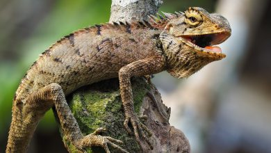 iguana florida freddo