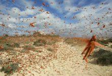 locuste Africa