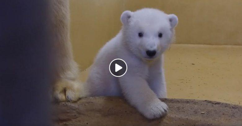 zoo di Brema orsi polari
