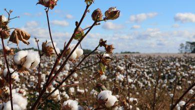 giornata mondiale del cotone